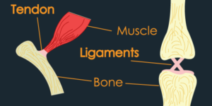 What are tendons and ligaments