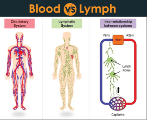 Difference between Blood and Lymph