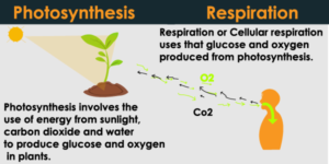 Difference between Photosynthesis and Respiration