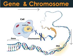 Gene and Chromosome