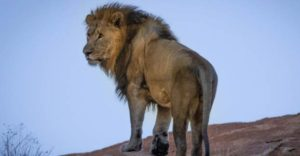 Facts About Lion