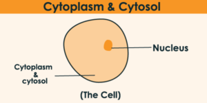 What Is Cytoplasm