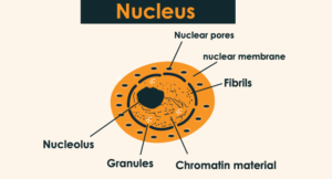 What is Nucleus