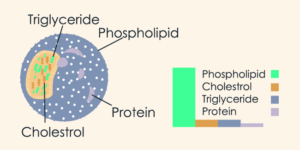 Chylomicrons synthesize