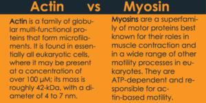 actin vs myosin