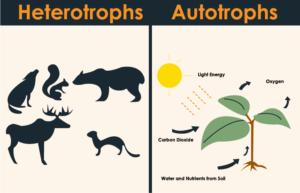 Autotroph vs Heterotroph