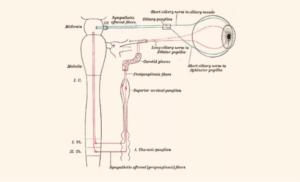 miosis definition biology