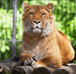 What Does Ligers Eat