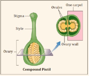 Carpel and Pistil