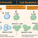 Difference Between Humoral and Cell-Mediated Immunity