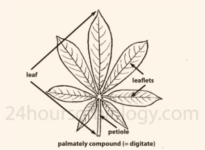 Palmately Compound Leaves