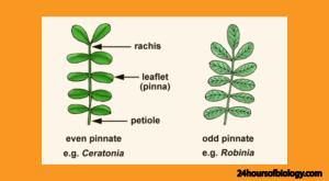 even pinnate leaf odd pinnate compound leaf