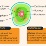 Cytosol vs Cytoplasm