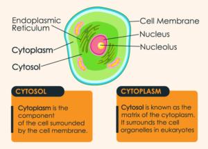 Cytosol diagram vs Cytoplasm diagram