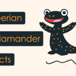 Siberian Salamander Facts